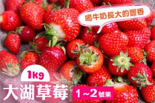 每公斤只要588元起,即可享有苗栗大湖豐香品種-喝牛奶長大的XL草莓禮盒〈1公斤/2公斤/4公斤〉