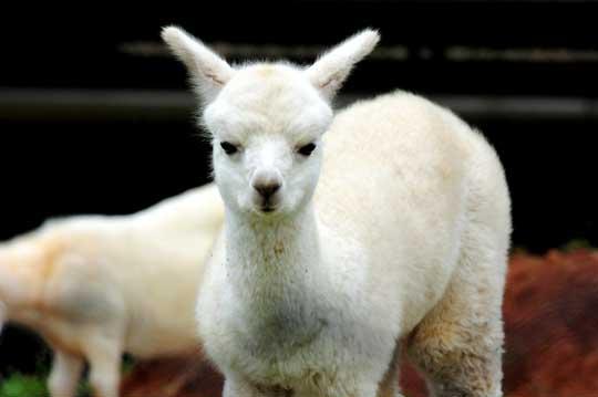 非洲放养草食性动物如:长颈鹿,犀牛,斑马,鸵鸟,北非髯羊,环尾狐猴及苏