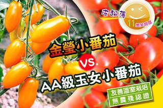 【台灣在地爆汁蕃茄】金瑩品種比橙蜜香多汁更香甜,甜度可達10度以上;玉女口感細緻甜美,一咬噴汁,酸中帶甜更涮嘴~
