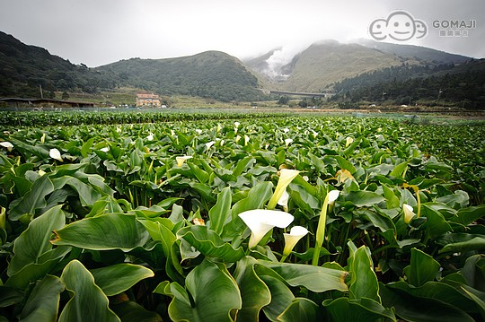 财福海芋田种植海芋已有超过20    年以上的经验,坚持以最自然的海芋