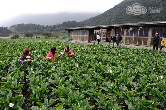 财福海芋田种植海芋已有超过20